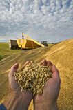 Hands holding oats temporally stockpiled outside